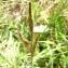 Augustin Roche - Carex trinervis Degl. ex Loisel.