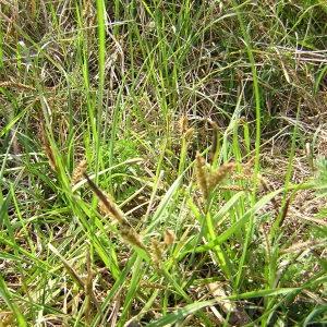 - Carex trinervis Degl. ex Loisel.