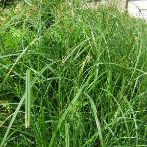 Photographie n°45813 du taxon Cyperus longus L.