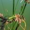 Augustin Roche - Schoenoplectus lacustris (L.) Palla [1888]