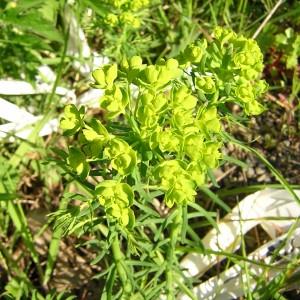 Photographie n°45848 du taxon Euphorbia cyparissias L. [1753]