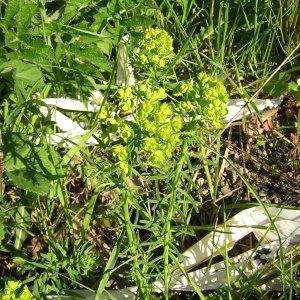 Photographie n°45849 du taxon Euphorbia cyparissias L. [1753]