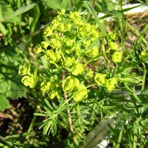Photographie n°45850 du taxon Euphorbia cyparissias L. [1753]