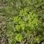 Augustin Roche - Euphorbia helioscopia L. [1753]