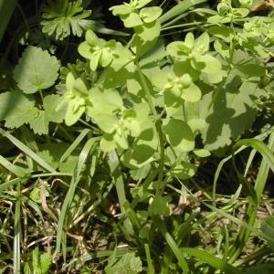 Photographie n°45879 du taxon Euphorbia peplus L. [1753]