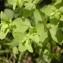 Augustin Roche - Euphorbia peplus L. [1753]