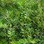 Augustin Roche - Astragalus glycyphyllos L. [1753]