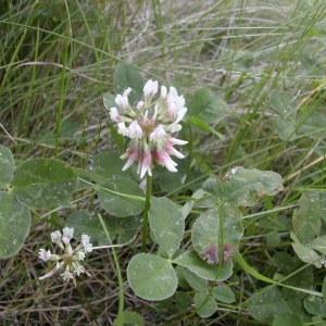 Photographie n°45965 du taxon Trifolium repens L. [1753]