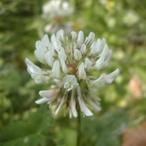 Photographie n°45966 du taxon Trifolium repens L. [1753]