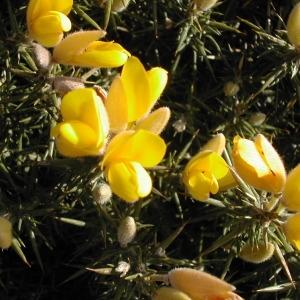 Photographie n°45971 du taxon Ulex europaeus L. [1753]