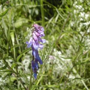 Photographie n°45979 du taxon Vicia cracca L. [1753]