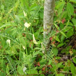 Photographie n°45984 du taxon Vicia lutea L. [1753]