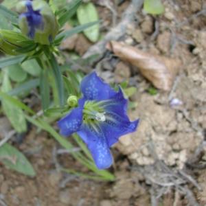 Photographie n°46014 du taxon Gentiana pneumonanthe L.