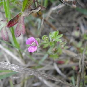 Photographie n°46028 du taxon Geranium dissectum L.