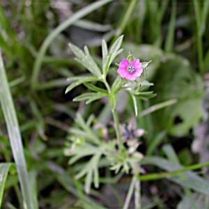 Photographie n°46029 du taxon Geranium dissectum L.