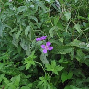 Photographie n°46041 du taxon Geranium palustre L.