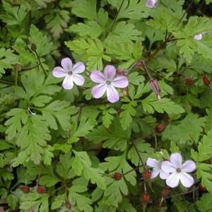 Photographie n°46048 du taxon Geranium robertianum L. [1753]
