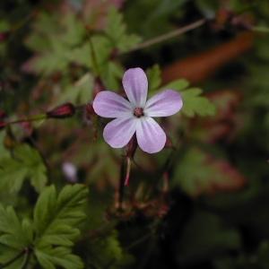 Photographie n°46049 du taxon Geranium robertianum L. [1753]