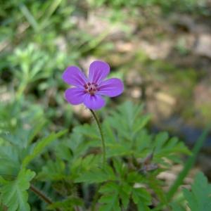 Photographie n°46050 du taxon Geranium robertianum L. [1753]