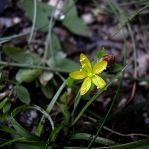 Photographie n°46075 du taxon Hypericum humifusum L. [1753]