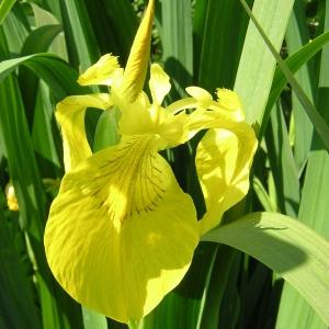 Photographie n°46088 du taxon Iris pseudacorus L. [1753]