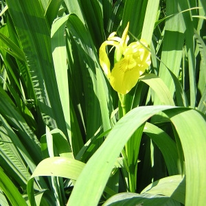 Photographie n°46090 du taxon Iris pseudacorus L. [1753]