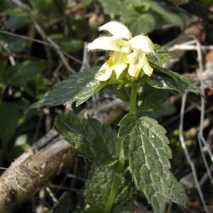 Photographie n°46133 du taxon Lamium galeobdolon (L.) L. [1759]
