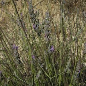 Photographie n°46141 du taxon Lavandula latifolia Medik.