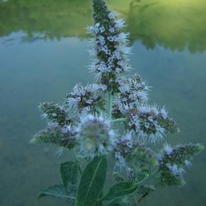 Mentha longifolia (L.) Huds. subsp. longifolia (Menthe à feuilles longues)