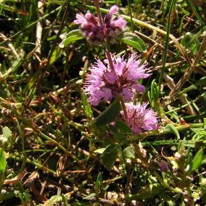 Photographie n°46158 du taxon Mentha pulegium L.