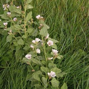 Photographie n°46220 du taxon Althaea officinalis L.