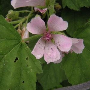 Photographie n°46222 du taxon Althaea officinalis L.