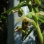 Augustin Roche - Epipactis helleborine subsp. helleborine
