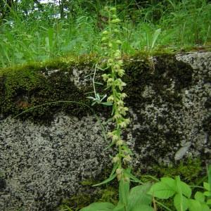 Photographie n°46284 du taxon Epipactis helleborine subsp. helleborine