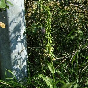 - Epipactis helleborine subsp. helleborine