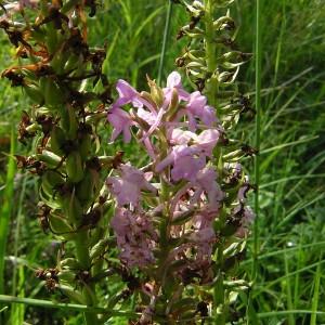 Photographie n°46287 du taxon Gymnadenia conopsea (L.) R.Br.