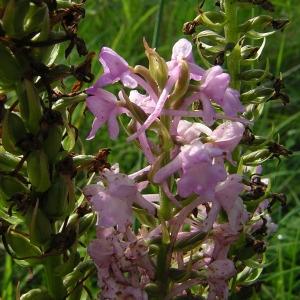 Photographie n°46289 du taxon Gymnadenia conopsea (L.) R.Br.