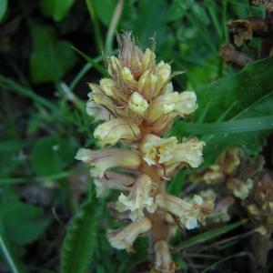Photographie n°46325 du taxon Orobanche hederae Vaucher ex Duby