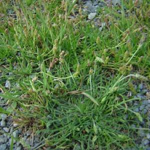 Photographie n°46356 du taxon Plantago coronopus L.