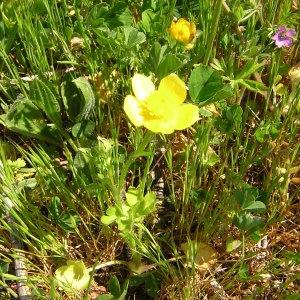 Photographie n°46534 du taxon Ranunculus sardous Crantz