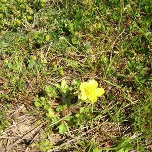 Photographie n°46535 du taxon Ranunculus sardous Crantz