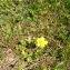 Augustin Roche - Ranunculus sardous Crantz [1763]