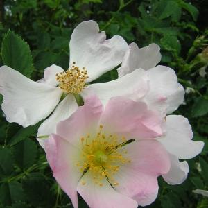 Photographie n°46611 du taxon Rosa stylosa Desv.