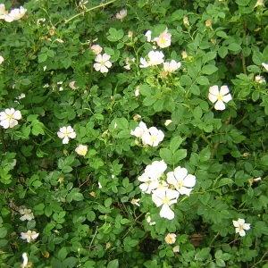 Photographie n°46613 du taxon Rosa stylosa Desv.