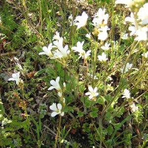 Photographie n°46677 du taxon Saxifraga granulata L.