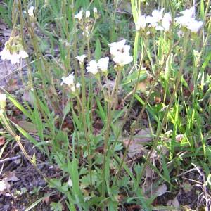 Photographie n°46678 du taxon Saxifraga granulata L.