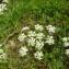 Augustin Roche - Conopodium majus (Gouan) Loret
