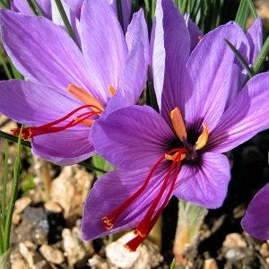 Photographie n°46819 du taxon Crocus sativus L.