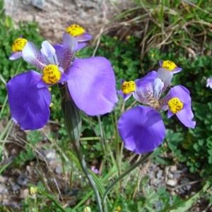 Photographie n°46830 du taxon Iridaceae