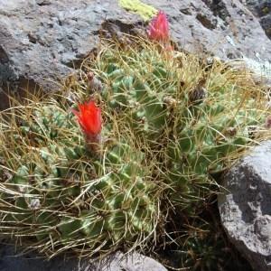 Photographie n°46838 du taxon Cactaceae
